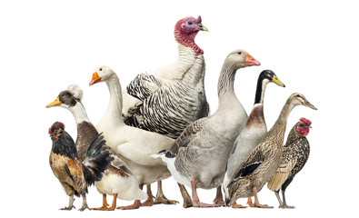 Group of Ducks, Geese and Chickens, isolated on white Wall mural