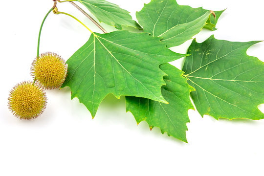 Plane tree, sycamore leaves and flowers isolated on white