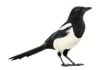 Side view of a Common Magpie, Pica pica, isolated on white Wall mural