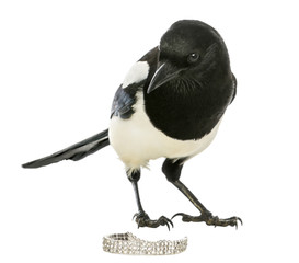 Curious Common Magpie looking at the camera with jewellery