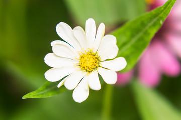 White Straw flower
