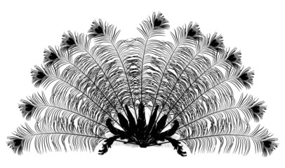 peacock feather fan silhouette on white