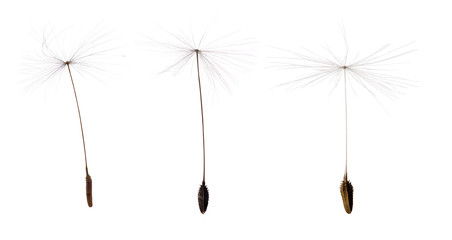 three dandelion seeds isolated on white