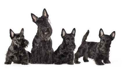 mother dogs and puppies breed scotch terrier Wall mural