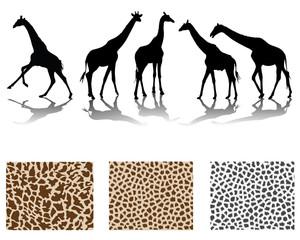 Silhouette of giraffes and skin, vector illustration