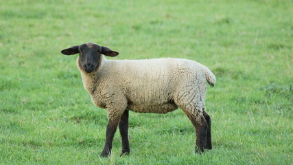 a beautiful sheep with black head and green grass