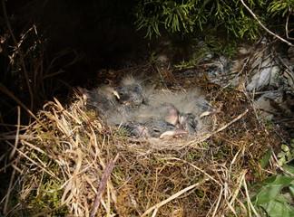 Grey wagtail babies in the nest (Motacilla cinerea)