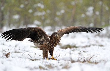 White-tailed eagle wings spread