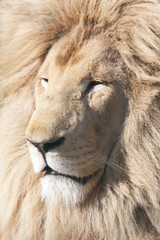 Headshot of a white lion