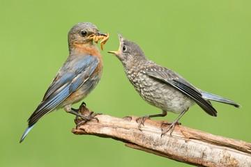 Fotoväggar - Female Eastern Bluebird With Baby
