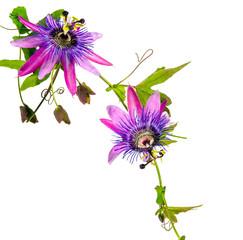 Wall Mural - Passionsblumen: passiflora violacea / Studio-Aufnahme