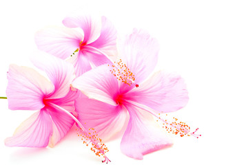 Wall Mural - pink Hibiscus
