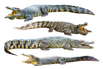 Collection of freshwater crocodile isolated on white background