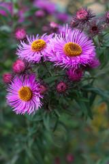 nice autumn purple chrysanthemum flower close-up