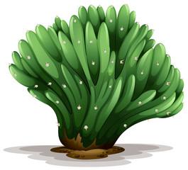 Trichocereus pachanoi forma cristata