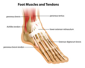Foot Muscles and Tendons