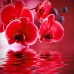 orquídeas rojas con fondo y agua