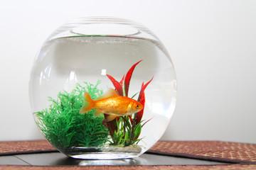 Goldfish in bowl aquarium