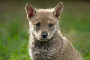 Foto auf Leinwand Wolf Puppy wolf