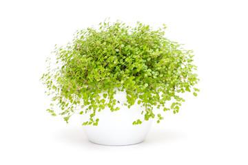 Grüne Zimmerpflanze Bubikopf
