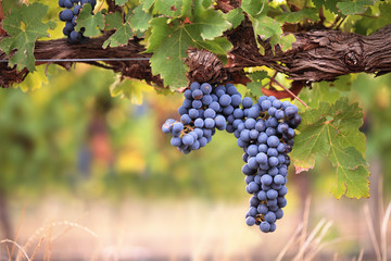 Large bunch of red wine grapes on vine Fototapete