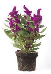 Cerca immagini fiore viola for Pianta fiori viola