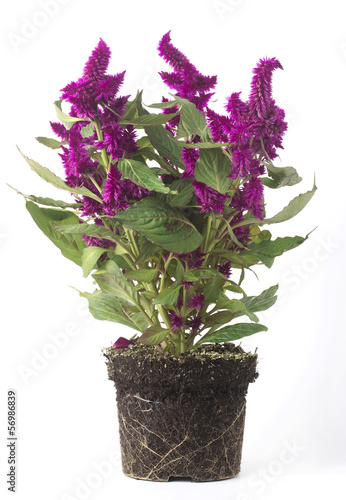 Pianta con fiori viola senza vaso immagini e fotografie for Pianta rampicante con fiori viola a grappolo