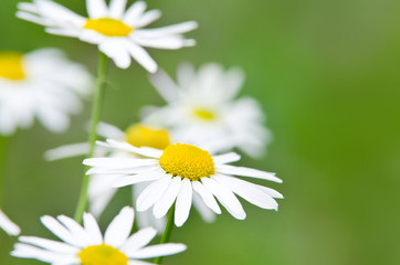 White daisy flowers (camomile) blooming on the meadow