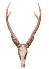 samba deer skull horn isolated on white backgorund