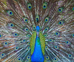 Close-up portrait of male peacock in pairing season