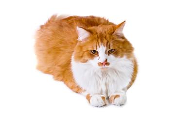Orange and white cat lays