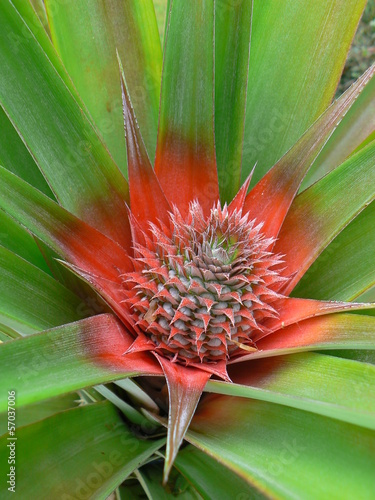 Ananas En Fleur Martinique Stock Photo And Royalty Free Images On