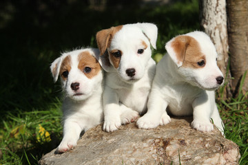 Gorgeous puppies of Jack Russell Terrier Wall mural