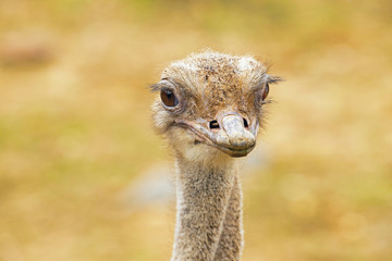 Close-up of the head of an adult ostrich in zoo.