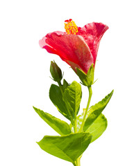 red Hibiscus,Tropical flower