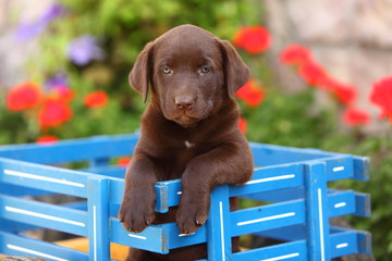 Chocolate Labrador Retriever in Wagon