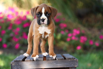 Boxer Puppy Standing on Wooden Crate
