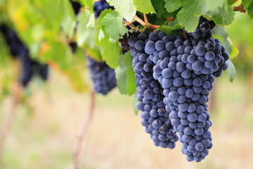 Large bunches of ripe red wine grapes on vine Fototapete