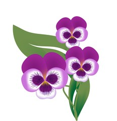 Blossom of violet flower,Vector Illustration