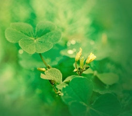 Clover and little yellow flower