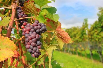 Blue grape in field