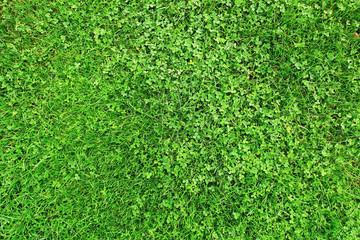 Grass field with clover