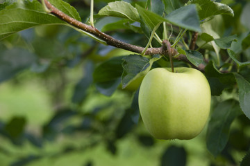 Green Apple Granny Smith Fresh Food Fruit Produce Orchard