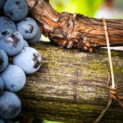Fototapete - viticoltura