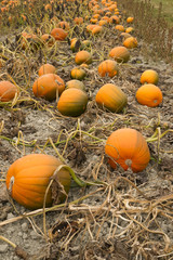 Farm Scene Halloween Vegetable Growing Autumn Pumpkins Harvest