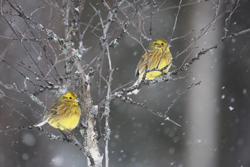 Fotoväggar - Yellowhammer; Emberiza citrinella