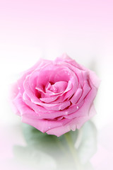 Beautiful, pink rose