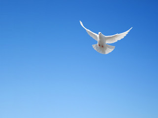 Foto En Lienzo - White dove flying in the sky
