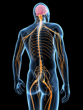medical illustration of the nervous system