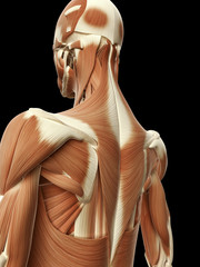 medical illustration of the neck muscles